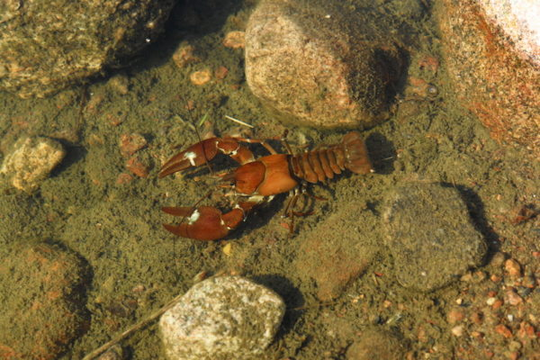 A crayfish in the river